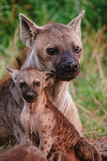 Spotted hyena mother and cub.