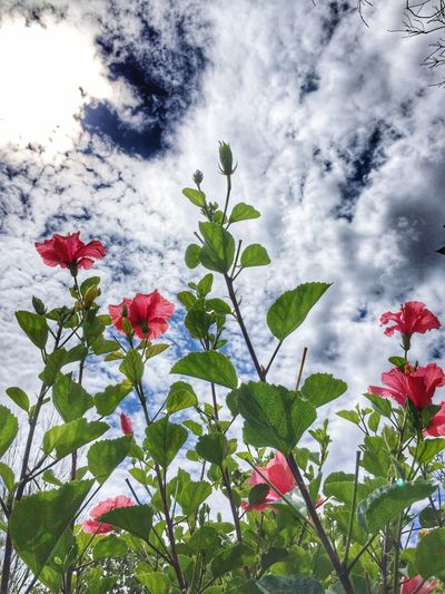 Relaxing Taking Photos Blue Sky White Clouds Hibiscus 🌺 Green Pink Flower Nature No People Beautiful Nature Bright Colors Bright Day EyeEm Nature Lover