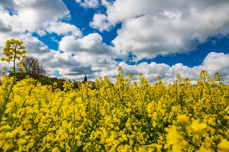 Yellow Beauty In Nature Cloud - Sky Sky Flower Oilseed Rape Plant Scenics - Nature Flowering Plant Tranquility Growth Land Landscape Field Day Tranquil Scene Nature Agriculture No People Freshness Outdoors Church Rapeseed Rapeseed Field Rapeseed Blossom