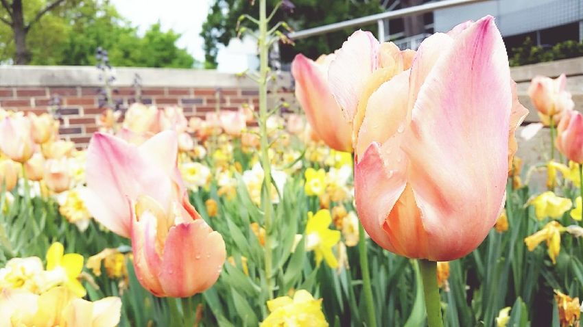 Tulips blooming at the Missouri Botanical Garden