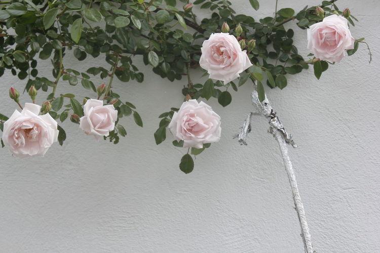 Roses... Flower