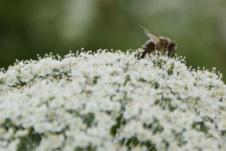 Close-up of honey bee pollinating on white flowers