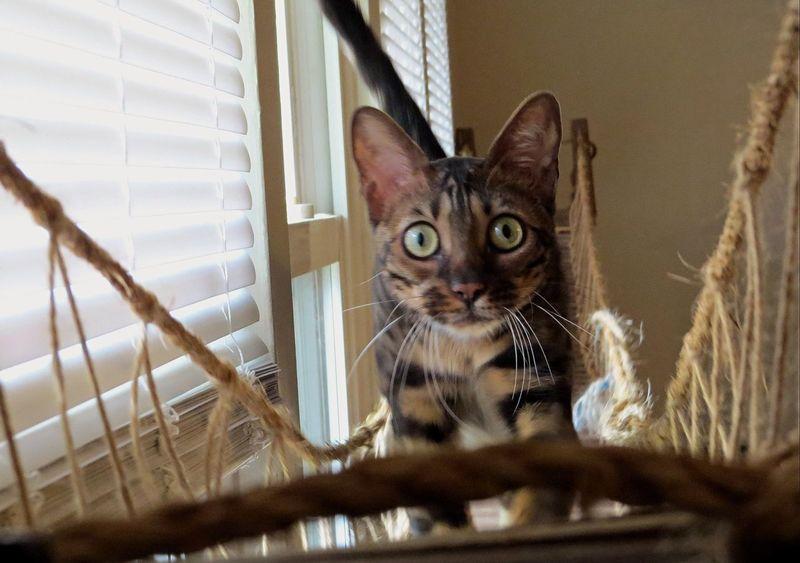 Stalking Bengal Cat Bengal Exotic Pets Cat Cats My Pet Furbaby Cat♡ I Love My Cat Animals