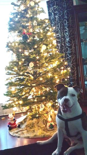 Man'sbestfriend Relaxing My Bestfriend My Baby I Love My Dog Sweet Moments Canine Love Dogs Of EyeEm Animal Photography EyeEm Animal Lover Pet Photography  PitBullNation Christmastime Christmas Tree Christmas Spirit Merry Christmas Christmas2015 Lighting
