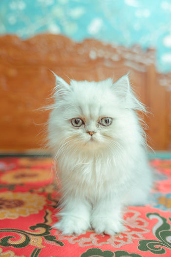 The pup of ginger cat. Animals In The Wild Artificial Cat Cat's Eyes Cat Cats Close-up Cute Docile Eyes Face Ginger Cat Ginger Cat Pull Hair Kitten Meow Petal The Vertebrates White Domestic Cat Domestic Pets Animal Themes Mammal Domestic Animals Feline Animal Looking At Camera Portrait One Animal Vertebrate Indoors  No People Relaxation Whisker Focus On Foreground Furniture Persian Cat