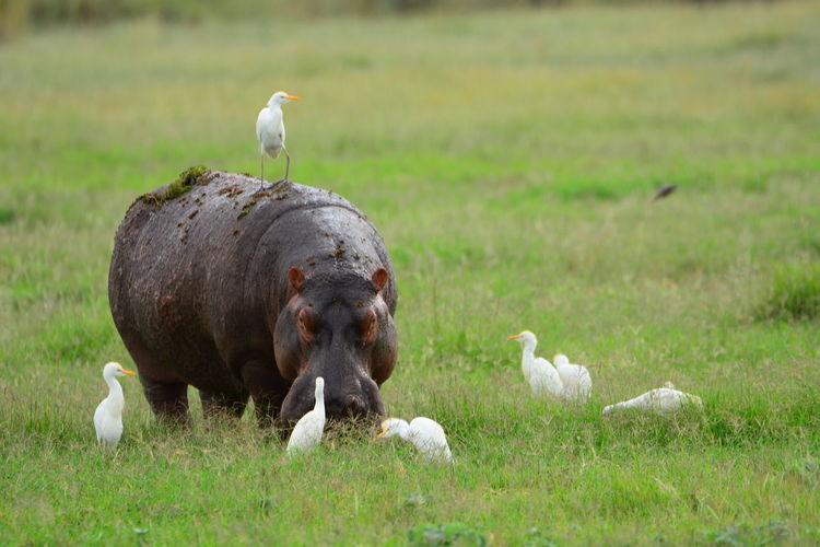 Herons And Hippopotamus On Grassy Field