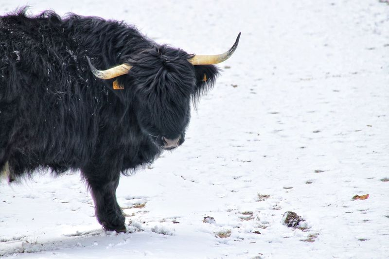 Hello Stay Away Horns Black Bull Horney Black And White Black And White Photography Black And White Collection  Horn Horns Bull Nature Photography Nature_collection Nature Winter Landscape Winterscapes Winter Wonderland Wintertime Winter Snow Cold Cold Temperature Cow Scottish Highlander Cows Scottish Highlander Scottish Highland Cattle