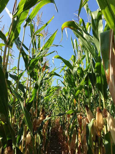Corn 🌽 Take Two Growth Leaf Plant Green Color Low Angle View Freshness Agriculture Selective Focus Nature Farm Crop  Green Sky Harvesting Day Rural Scene Beauty In Nature Outdoors Organic Vibrant Color Cornfield Corn Solitude Green Fall Beauty
