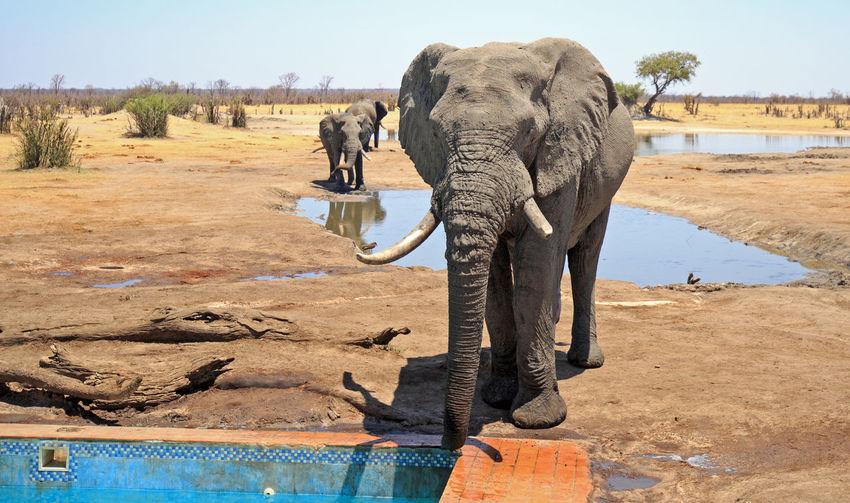 Elephant Animal Themes Animal Mammal Nature Animals In The Wild Safari One Animal Animal Wildlife Water Animal Trunk No People African Elephant Drinking Hwange National Park Wildlife & Nature Wildlife Wildlife Photography