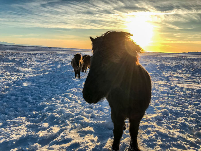 Horses Landscape_Collection Nature Nature Photography Scandinavia Travel Animal Beauty In Nature Cold Temperature Field Horse Horse Photography  Land Landscape Landscape_photography Landscapes Nature_collection No People Sky Snow Sunset Travel Destinations Winter