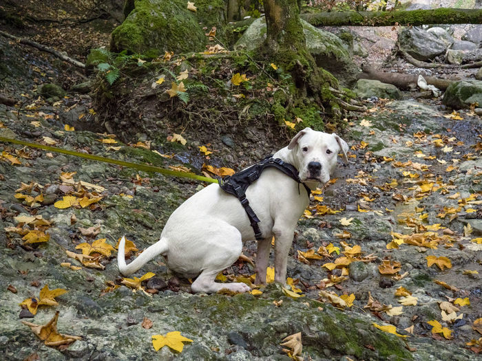 Puppy Dog Canine Animal Themes One Animal Domestic Pets Animal Mammal Domestic Animals Vertebrate Plant Part Leaf Day Nature No People Autumn Rock High Angle View Rock - Object Looking Dogo Argentino Cholereschlucht Switzerland Rock Plant Nature