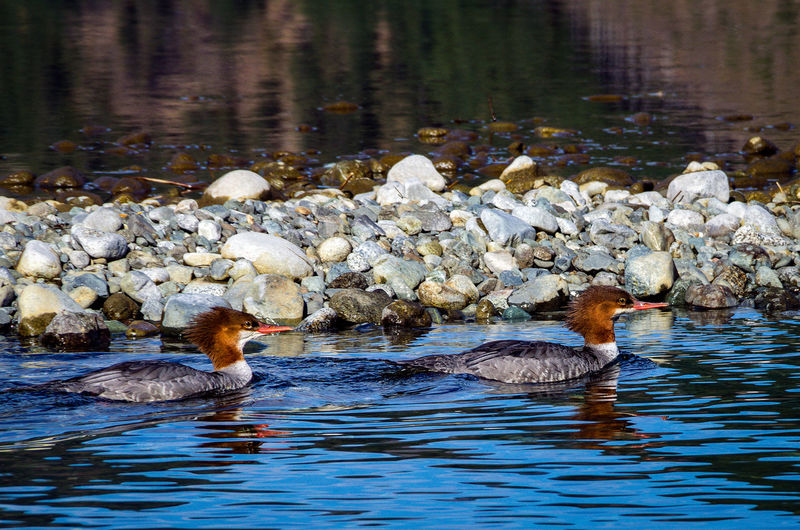 Merganser Ducks Water Animals In The Wild Animal Wildlife Animal Themes Animal Bird Lake Group Of Animals Swimming Vertebrate Waterfront Nature Day No People Young Bird Young Animal Water Bird Duck Beauty In Nature Animal Family Outdoors Floating On Water