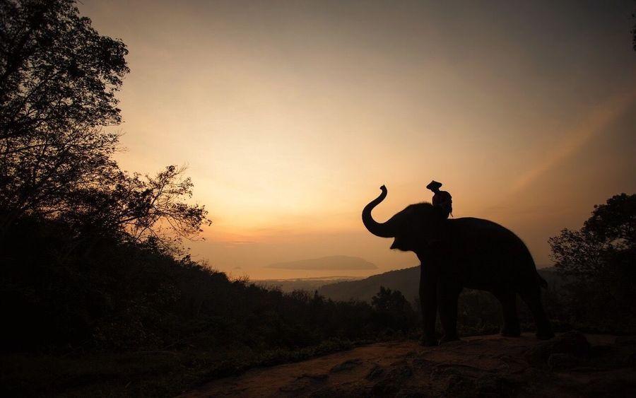 Nature Sky Elephant Tree Silhouette Outdoors Landscape Standing Tusk Sunrise Morning