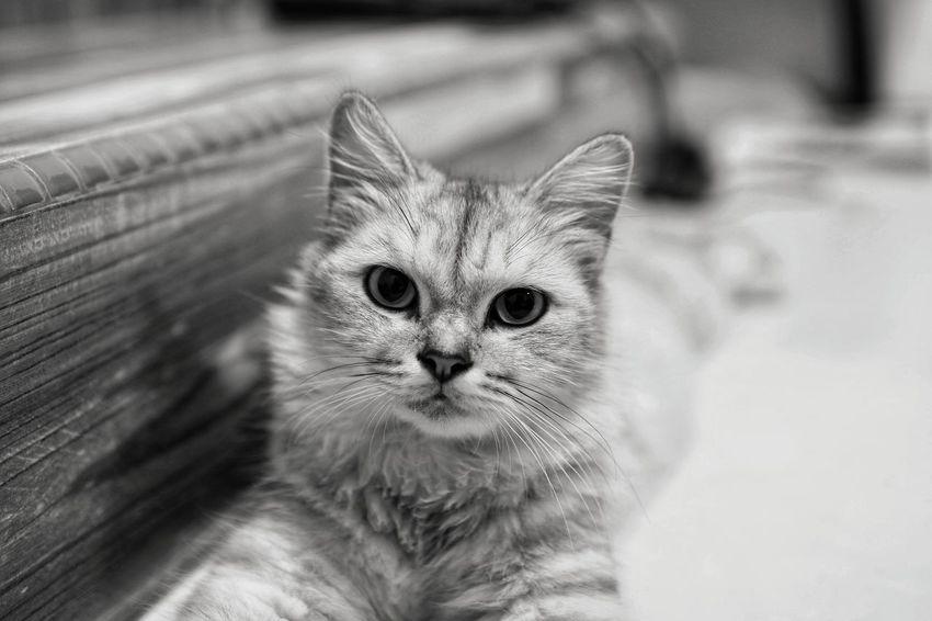 the cat in black and white Kitten Portrait Feline Domestic Cat Persian Cat  Animal Eye HEAD Animal Head  Cat Animal Face Animal Hair