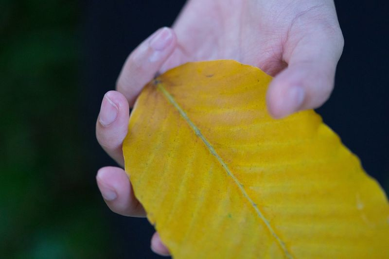 Close-up of hand holding yellow leaf against black background