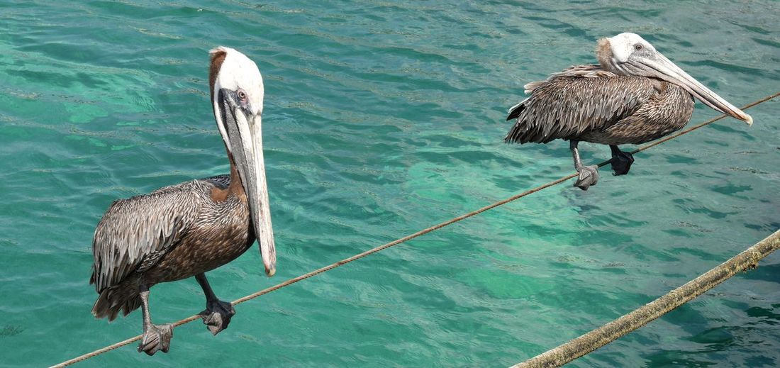 Animal Themes Animals In The Wild Balance Bird Curacao Curacao (willemstad) One Animal Pelican Pelicans Pelikan Pelikane Side View Togetherness Tropical Climate Two Animals Vogel Watching The Pelicans Water Wildlife Zoology