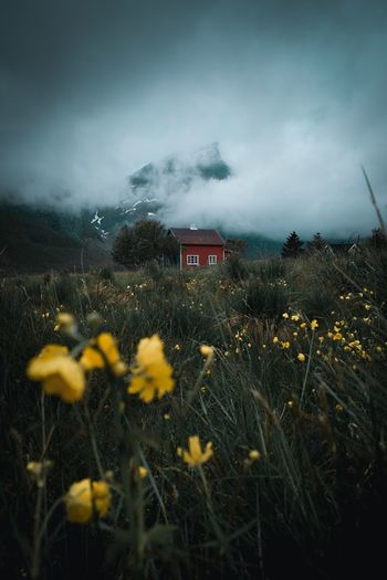 Lofoten mood EyeEm Nature Lover Moody Fog Mountains Lofoten Norway Tourist Mood Plant Flowering Plant Beauty In Nature Flower Sky Growth Nature Land Yellow Flower Head Landscape Cloud - Sky