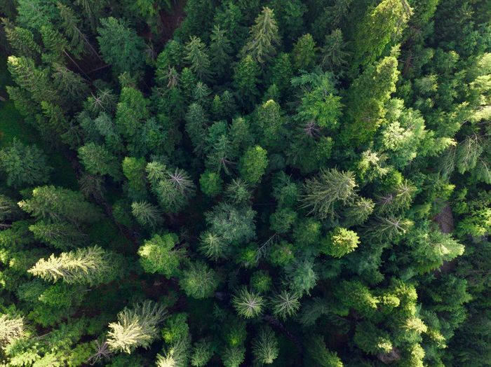 Drone  Abundance Backgrounds Beauty In Nature Close-up Coniferous Tree Day Dronephotography Droneshot Evergreen Tree Fir Tree Forest Freshness Full Frame Green Color Growth High Angle View Land Nature No People Pine Tree Pine Woodland Plant Tree WoodLand