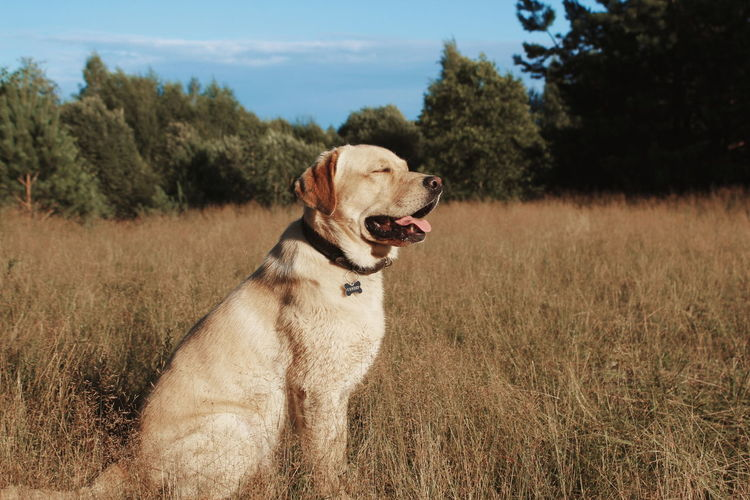 Dogs Labrador Labrador Retriever Russia Nature Gold Forrest Be. Ready.