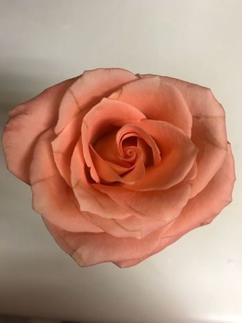 Peach Flower Rose - Flower Petal Nature Flower Head Beauty In Nature Fragility Love Growth Rose Petals No People Close-up Freshness