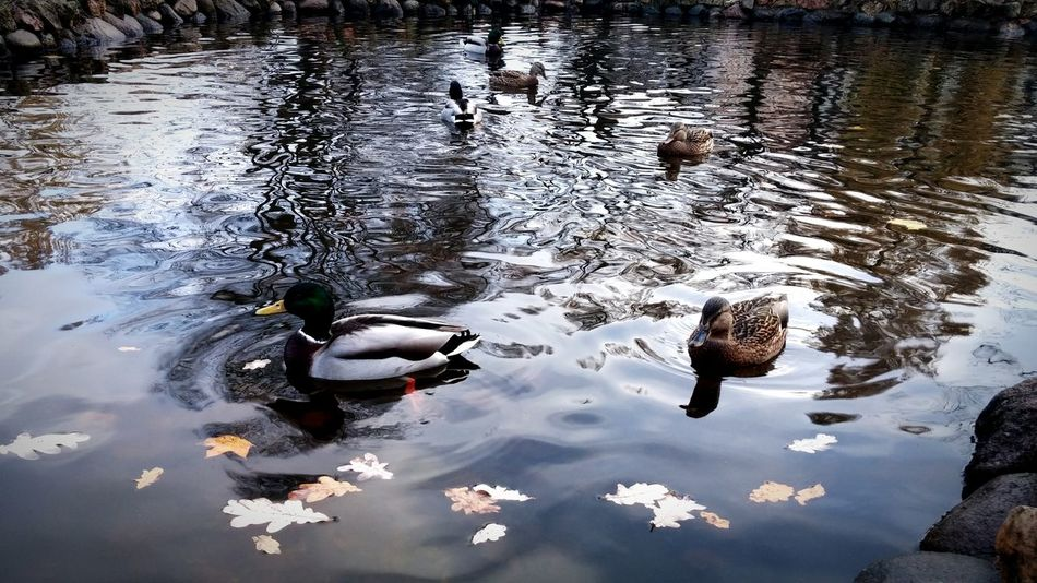 Duck Ducks Nature Water Lake Leaves Colors Wind Cold Coldwind Cute Bird Birds Beautiful Beautiful Nature Beautiful Day Riga Riga Latvia RigaCity