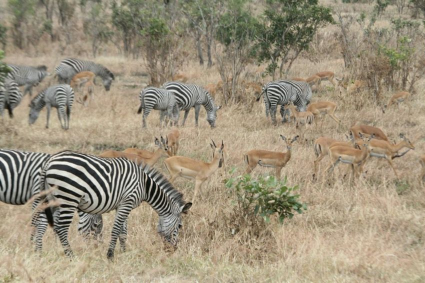 Zebra Animals In The Wild Striped Animal Wildlife Herd Nature Mammal Safari Animals Outdoors Animal Themes No People Day Group Of Animals Wilderness Area Large Group Of Animals Grass