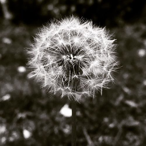 Maximum Closeness Flower Beauty In Nature Outdoors Dandelion Fragility Nature Focus On Foreground Growth Plant Flower Head Softness No People Dandelion Seed Freshness Close-up Seed Day