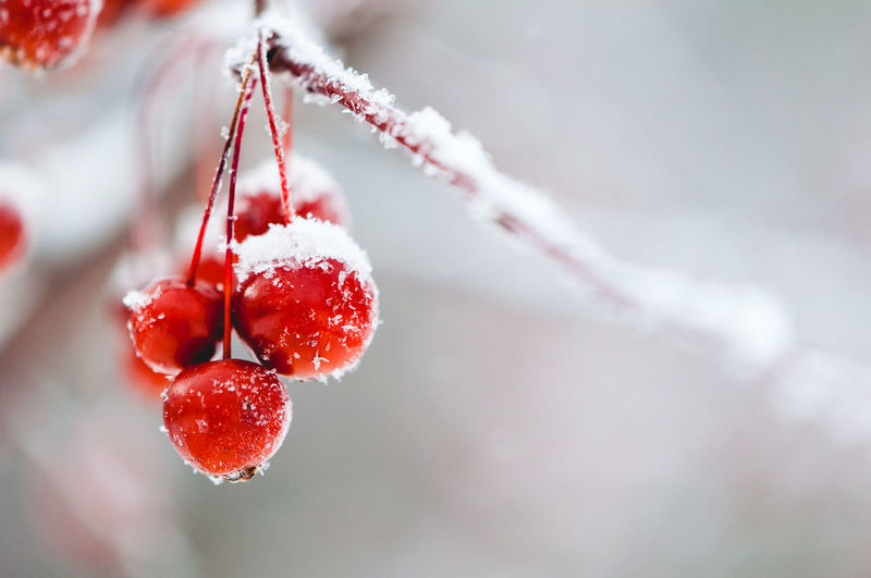 Winter Wonderland Fruit Winter Food Cold Temperature Red Berry Fruit Snow Frozen Close-up Freshness Plant Focus On Foreground Nature Ice Day Frost No People Outdoors Ripe Rowanberry