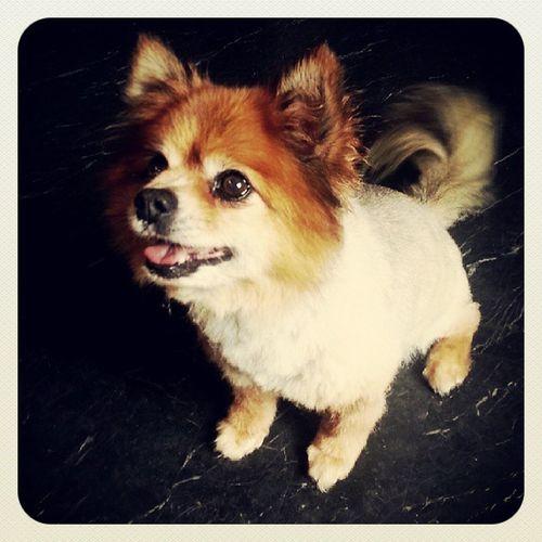 I turned into a puppy! Doggroom Newhair Pikachu Instadoggy Dogsofinstagran Gotmyhairdid Waggytail Happydog Pomeranian