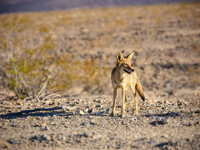 Coyote looking away at death valley national park