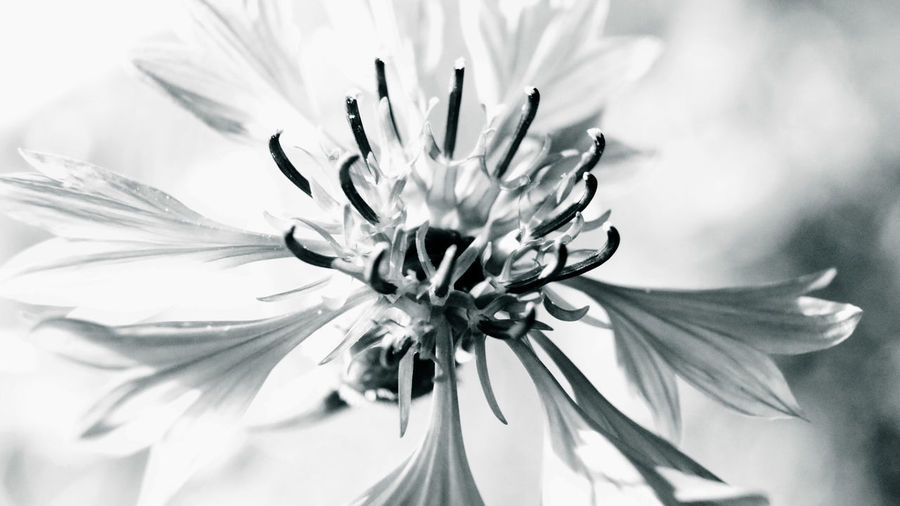 Blackandwhite Blackandwhite Photography Close-up Day Flower Flower Head Flowering Plant Focus On Foreground Freshness Growth Inflorescence Kornblume Nature No People Outdoors Rukkilill Selective Focus Vulnerability