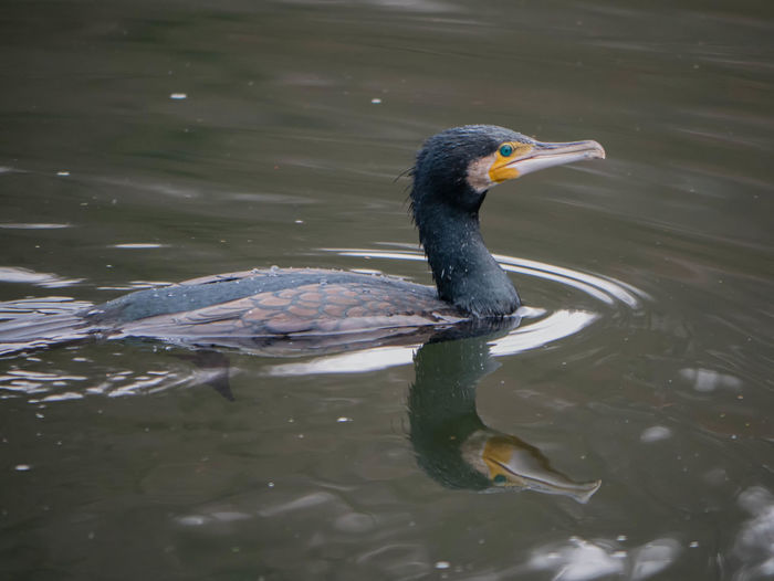Kormoran Animal Themes Animal Wildlife Animals In The Wild Beak Beauty In Nature Bird Day Lake Nature No People One Animal Outdoors Swimming Water Waterfront