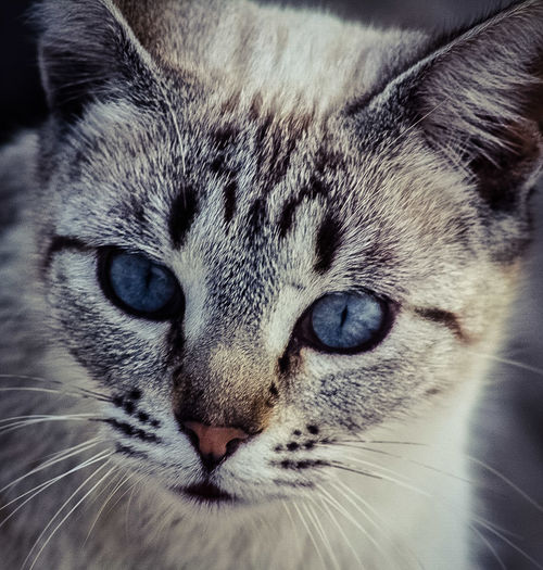 Love At First Sight Domestic Cat Looking At Camera Whisker Feline MY FAVORITES Miauuu 😺 ❤️😍