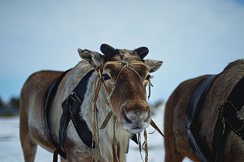 Trusting view Deer Khanty Winter Animal Themes Close-up Day Domestic Animals Eye Eyes Glimmer Glimmersticks Horse Kogalym Mammal Nature No People Outdoors Reindeer Herders Siberia Sky Standing Taiga Yugra