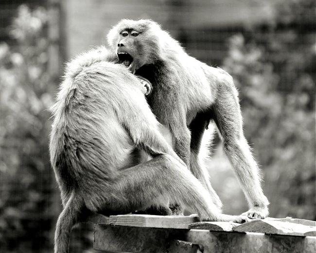 Jungle VIP Monkeys Blackandwhite