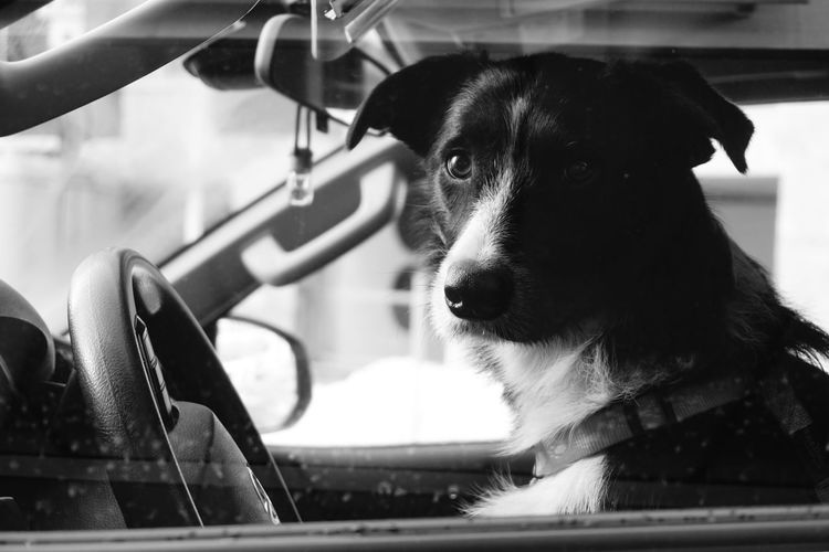 Dog taxi driver