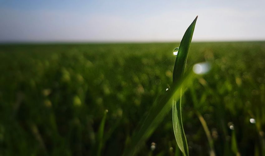 waterdroplets Waterdrops Waterdroplets Freshness View Focus On Foreground Nature Photography Beauty In Nature Beautiful Simple Springintospring Simple And Pure Nature. Focus On Details Nature Naturelovers Awesome Perfect Moment Cereal Plant Rural Scene Agriculture Field Crop  Close-up Sky Plant Green Color Grass Ear Of Wheat Agricultural Field Plantation Grain