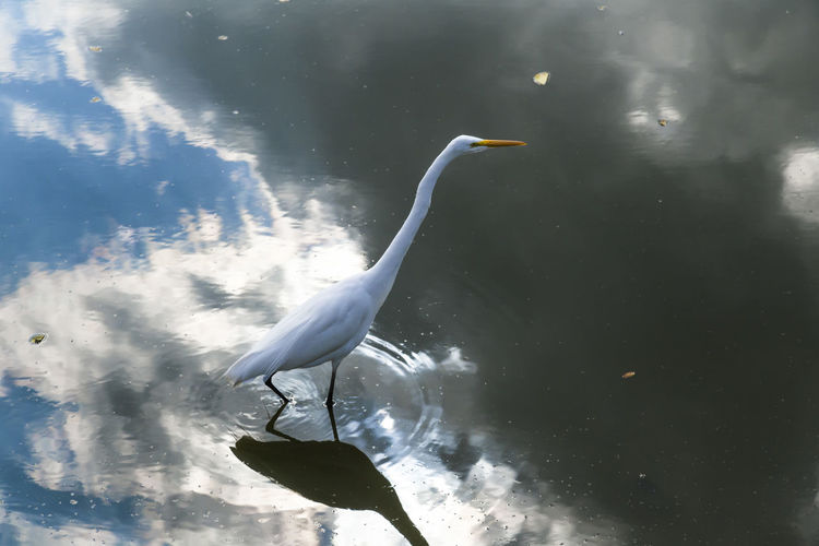 High angle view of great egret perching in lake with reflection