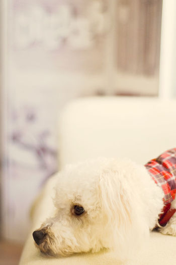 Animal Hair Animal Themes At Home Close-up Cute Doggy Daydream Daydreamer ♥ Dog Doggy ♥ Domestic Animals Focus On Foreground I Love You Baby ♥♥ I Miss You ❤ Look Away Loyalty One Animal Pampered Pets Pets
