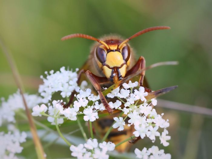 Close-up of wasp on cow parsnip