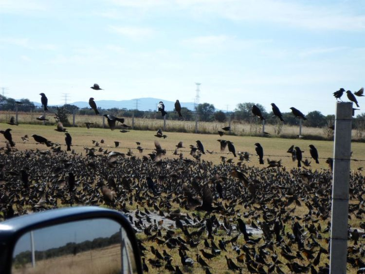 Large Group Of Animals Bird Sky Animals In The Wild Flock Of Birds Animal Themes Animal Wildlife No People Nature Outdoors Day Birds Birds_collection