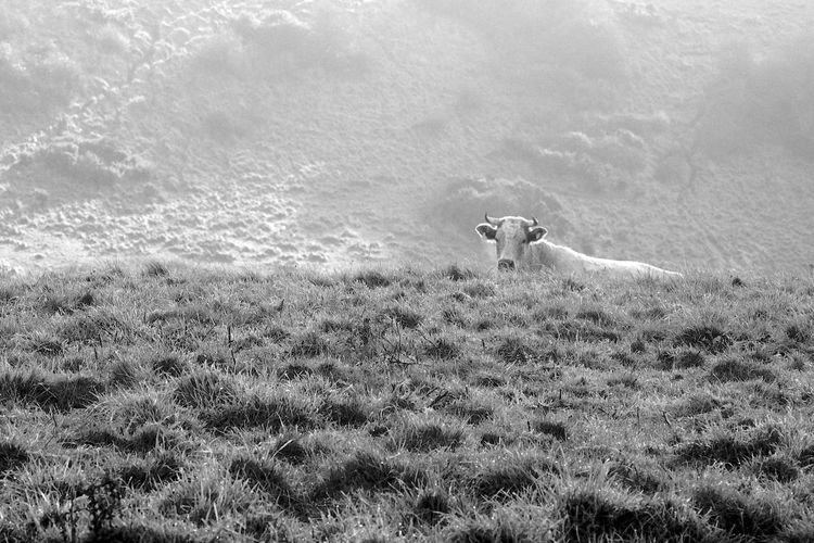 Cow Peaking Over The Ridge Mammal Animal Themes Animal One Animal Domestic Animals Vertebrate Land Field Day Nature Grass No People Standing Outdoors Cow Blackandwhite Black And White
