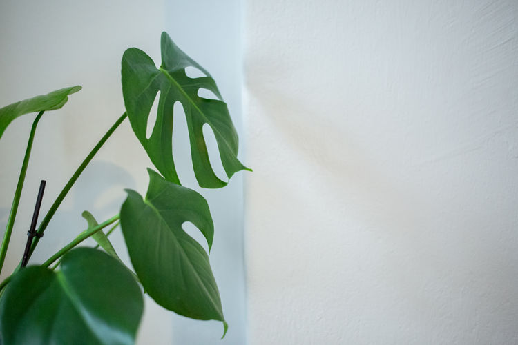 Apartement Close-up Day Fragility Freshness Green Color Growth Indoors  Interiot Ivy Leaf Nature No People Plant Style Wall - Building Feature White Color
