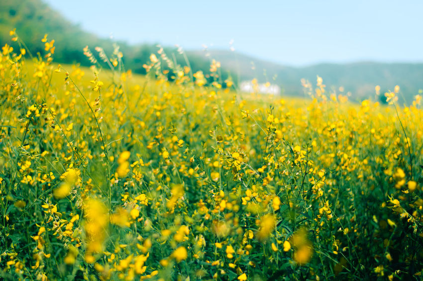 Landscape of golden flower with mountain and blue sky, beautiful summer nature, field, travel. Agriculture Beauty In Nature Crop  Cultivated Land Day Farm Field Flower Fragility Freshness Growth Landscape Mustard Plant Nature No People Outdoors Plant Rural Scene Scenics Selective Focus Springtime Summer Tranquil Scene Tranquility Yellow
