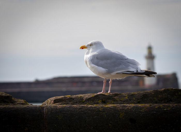 Gull Beak