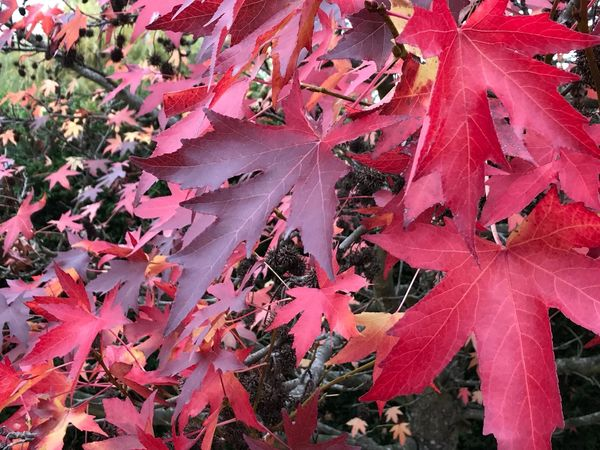 Autumn Leaf Change Red Nature Day Outdoors Maple Leaf Beauty In Nature No People Abundance Tranquility Maple Close-up Tree Fragility
