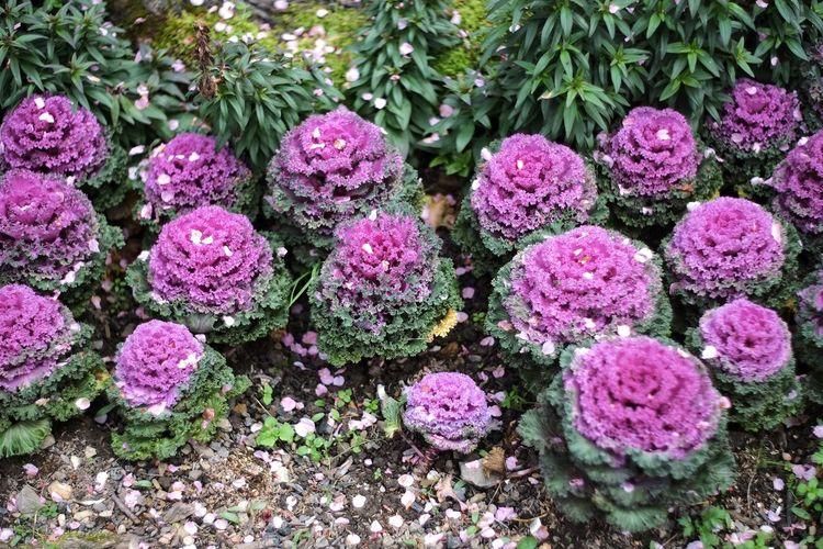 臺灣 Growth Flower Purple Nature Plant Freshness Pink Color Beauty In Nature No People Outdoors Green Color Day Fragility Maroon 恩愛農場 Taiwan