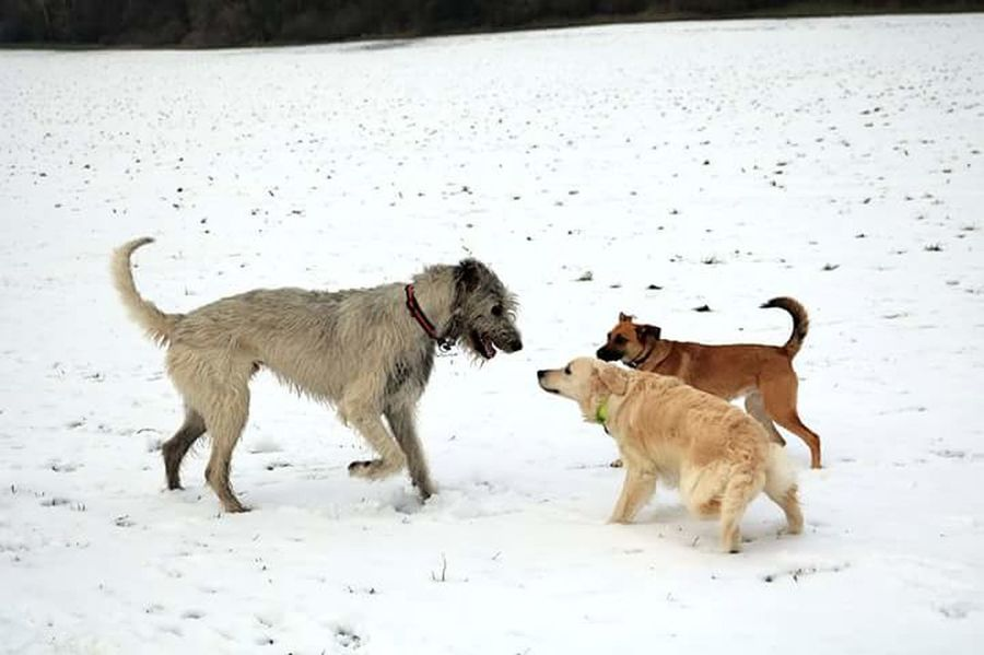 Domestic Animals Cold Temperature Animal Themes Pets Winter Outdoors Snow Nature January 2017 Dogs Of EyeEm Dogwalk Dogslife How's The Weather Today? Winter 2017 Running Irish Wolfhound Wartberg Fieldscape Cearnaigh Labrador Golden Retriever