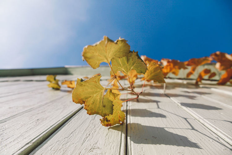 Close-Up Of Yellow Maple Leaf On Wood Against Sky