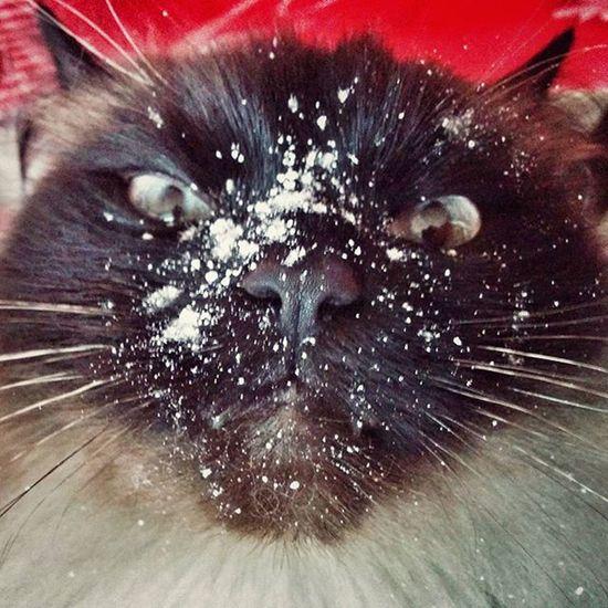 O_o Achoo   Hatschi Puderzucker Powderedsugar Cat Stunned Oops